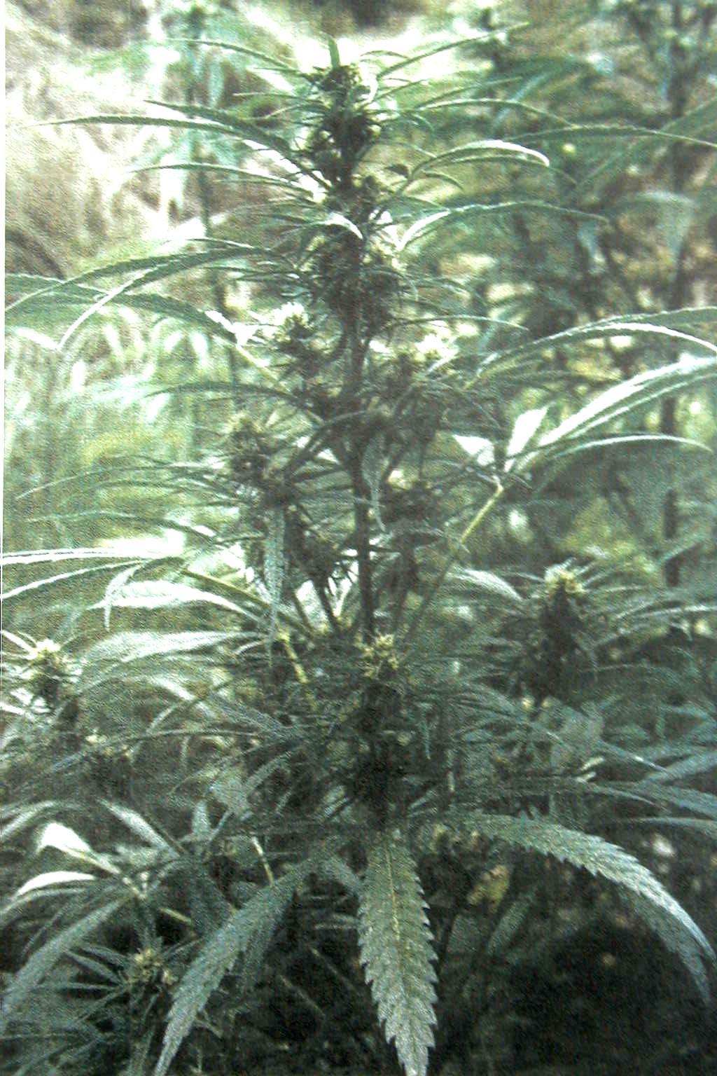 8954_cannabis3.jpg