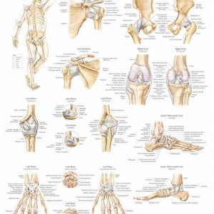 Ligaments of the Joints – Laminated Poster