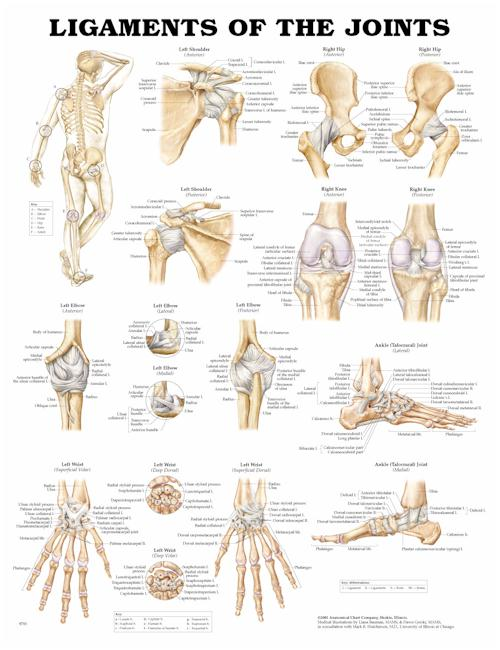 Ligaments of the Joints - Laminated Poster