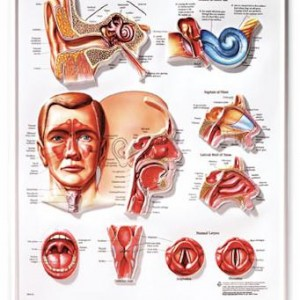 Ear, Nose and Throat – Laminated Poster