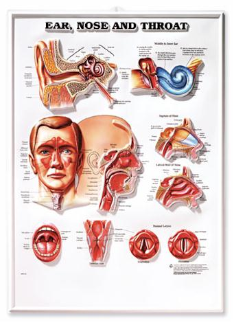 Ear, Nose and Throat - Laminated Poster image