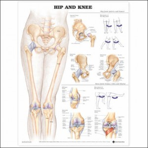 Hip and Knee – Laminated Poster