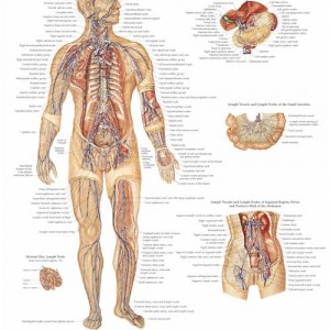The Lymphatic System – Laminated Poster