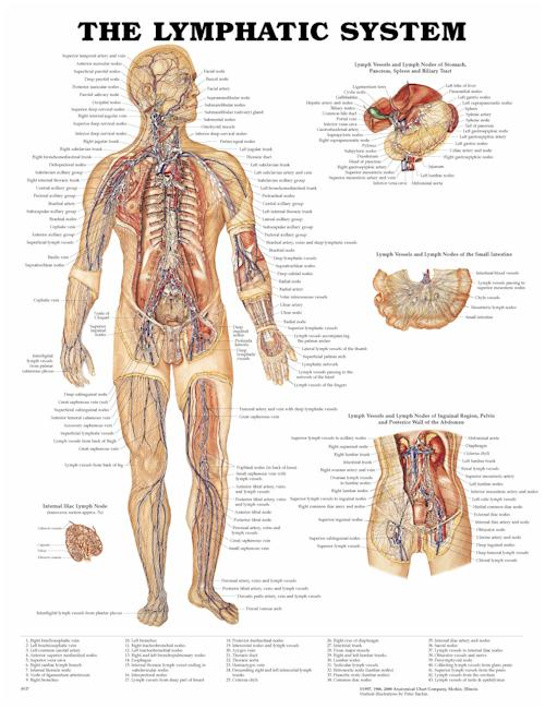 The Lymphatic System - Laminated Poster