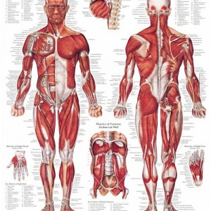 The Muscular System – Laminated Poster