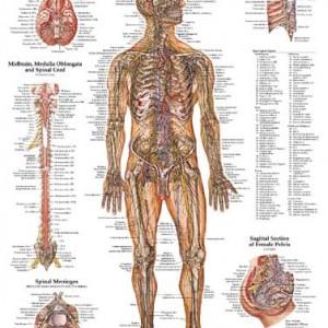 PT – The Nervous System