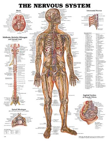 The Nervous System - Laminated Poster