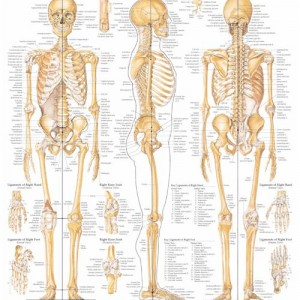 The Skeletal System – Laminated Poster