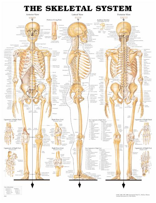 The Skeletal System - Laminated Poster